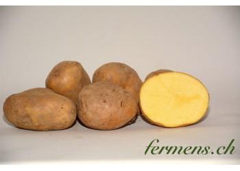 Pomme de terre Agria