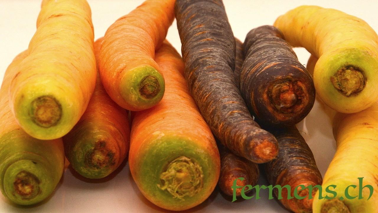 carottes couleur
